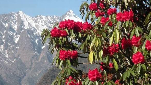 rhododendron_burans_landscape_garden_design_architecture_sriparna_saha_architect_cephalor